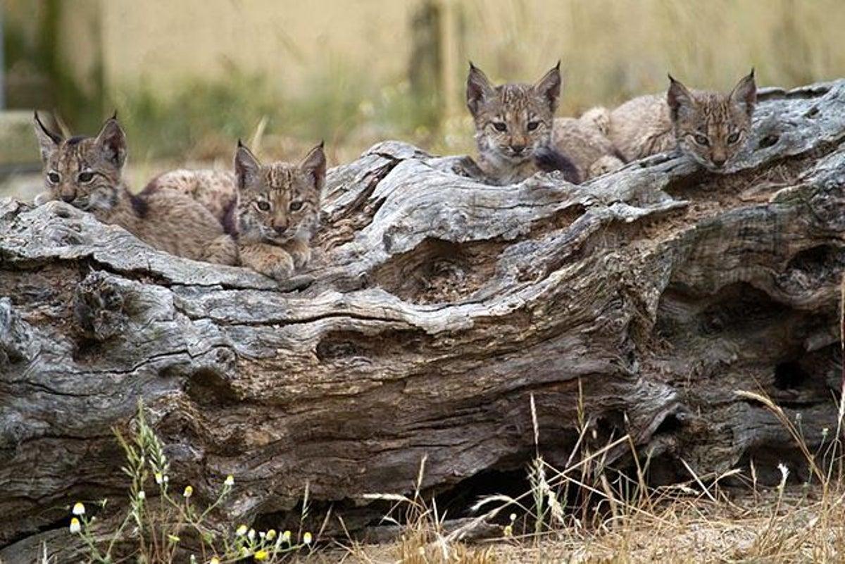 Iberian lynx kittens